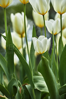 Buy stock photo Beautiful white tulips in my garden in early springtime