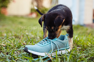Buy stock photo Shot of an adorable little puppy playing with a shoe in the backyard outside