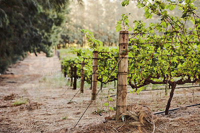 Buy stock photo Shot of a luscious vineyard in South Africa
