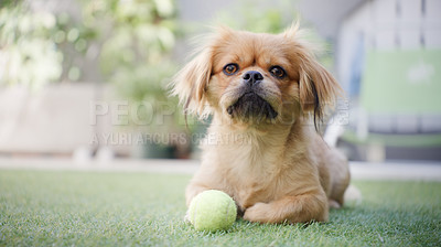Buy stock photo Shot of an adorable dog playing with his ball on the grass at home