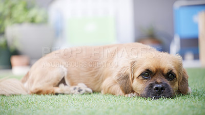 Buy stock photo Shot of an adorable dog lying on the grass in a garden at home
