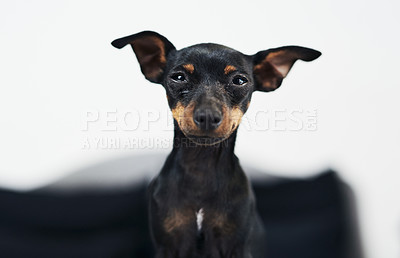 Buy stock photo Shot of an adorable dog at home