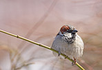 Sparrows in my garden