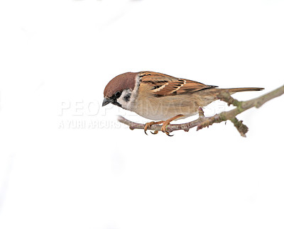 Buy stock photo Beautiful brown garden sparrow with uniform background