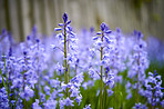 Bluebells in my garden