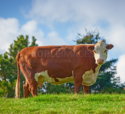 Buy stock photo Brown and white cows standing in farm pasture