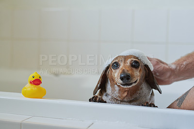 Buy stock photo Shot of an adorable dog getting bathed by his owner at home