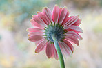 Beautiful gerbera flower