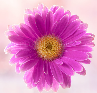 Buy stock photo Gerbera is native to tropical regions of South America, Africa and Asia.