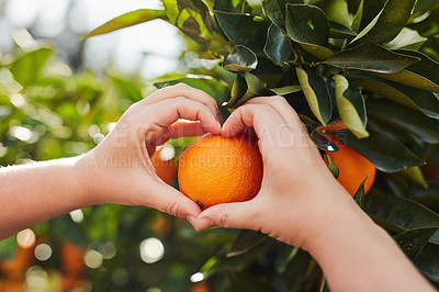 Buy stock photo Cropped shot of an unrecognizable woman making a heart shape with her hands around an orange on an orange tree