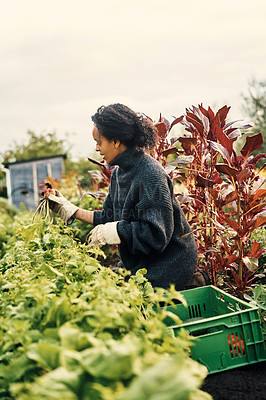 Buy stock photo Shot of a young woman harvesting fresh produce on a farm