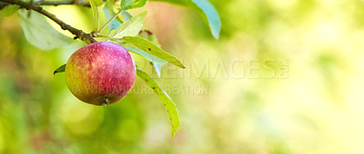 Buy stock photo A photo of tasty and beautiful apples in my garden