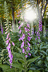 The foxgloves in the garden