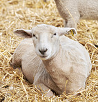 New born lamb and sheep