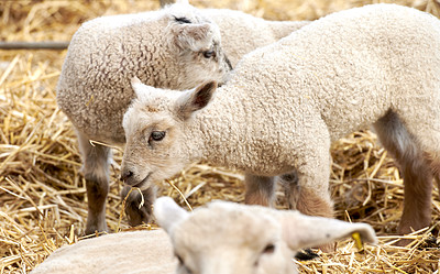 Buy stock photo A series of photos of lamb and sheep