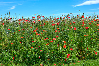 Buy stock photo A  photo of poppies in the countryside in early summer