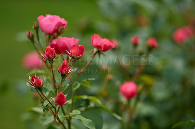 Buy stock photo A photo of a beautiful rose in the garden