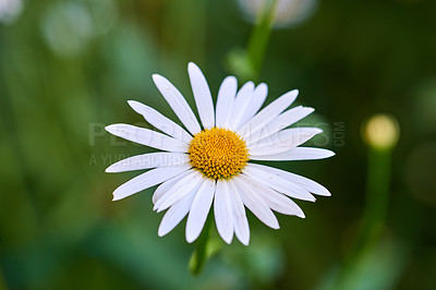 Buy stock photo A close-up photo of Marguerite - daisies