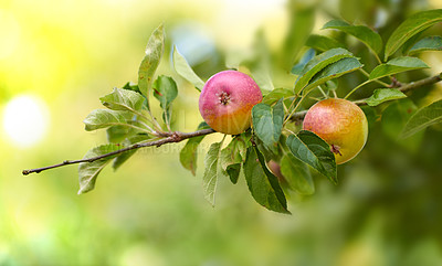 Buy stock photo Fresh apples in natural setting