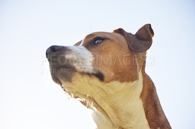 Buy stock photo Low angle shot of an adorable young Jack Russell sitting outside against a clear sky