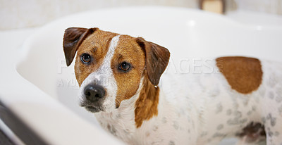 Buy stock photo High angle shot of an adorable young Jack Russell standing in the bath at home