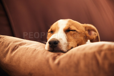 Buy stock photo Cropped shot of an adorable young Jack Russell sleeping on a sofa in the living room at home