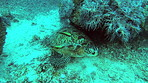 Green sea turtles are sadly critically endangered now