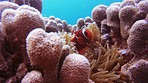 You can't explore the coral reef without seeing a clownish